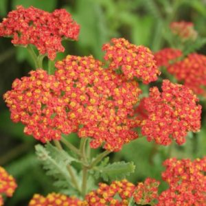 achillea at beechmount garden centre