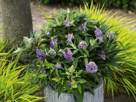 buddleia blue sarah at beechmount garden centre
