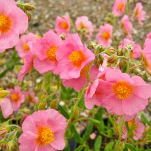 helianthemum at beechmount garden centre
