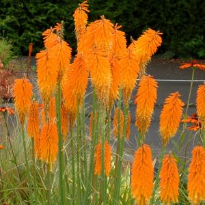 kniphofia mango popsicle at beechmount garden centre