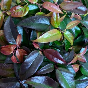 leucothoe at beechmount garden centre