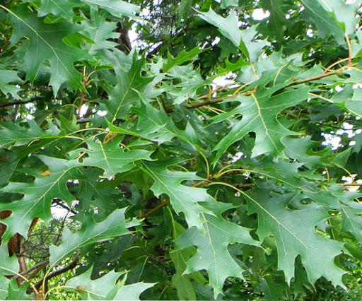 quercus at beechmount garden centre