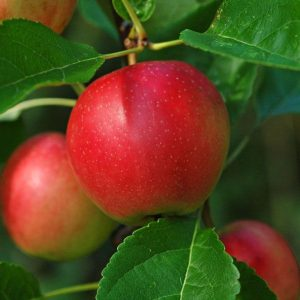 summerred apple at beechmount garden centre