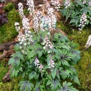 tiarella sugar & spice at beechmount garden centre