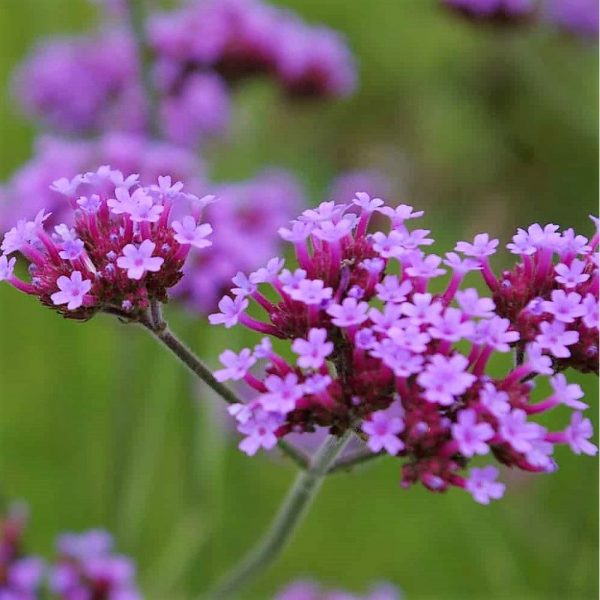 verbena-santos purple at beechmount garden centre