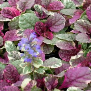 ajuga at beechmount garden centre