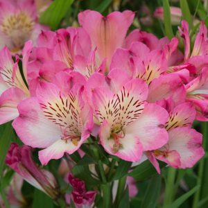alstroemeria at beechmount garden centre