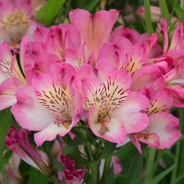 alstroemeria at beechmount garden centre