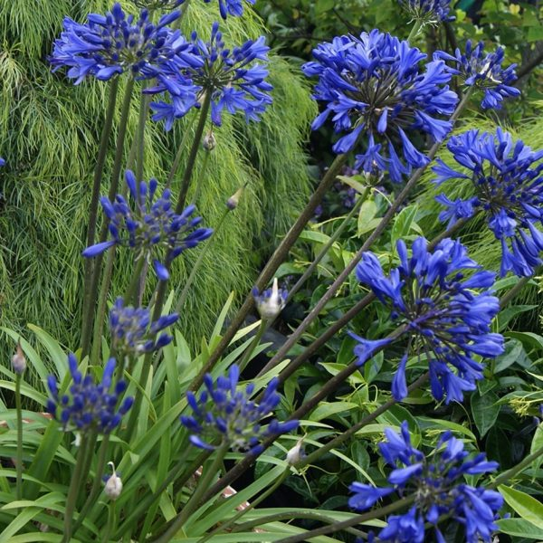 agaapanthus at beechmount garden centre