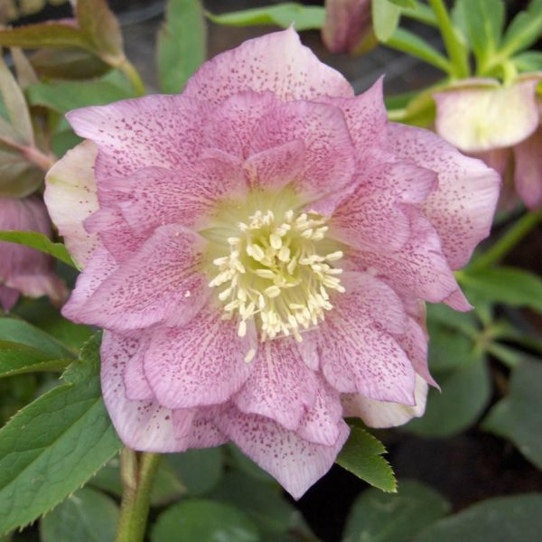 hellebours double ellen pink at beechmount garden centre