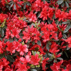 Azalea-hotshot at beechmount garden centre