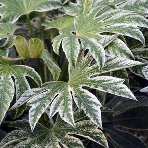 fatsia japonica spiders web at beechmount garden centre