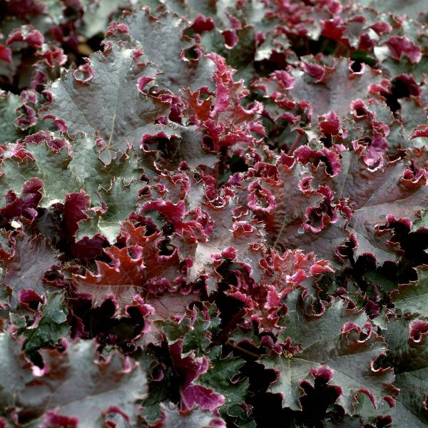 Heuchera-Purple-Petticoats- at beechmount garden centre