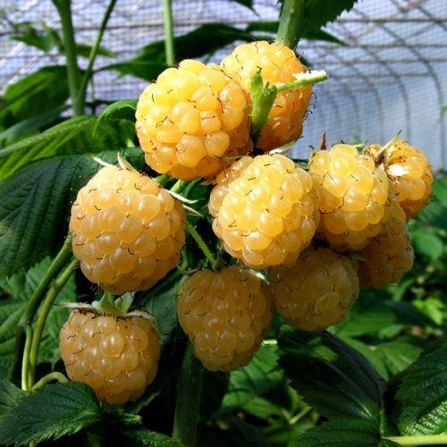Raspberry_All-Gold at beechmount gardenc centre