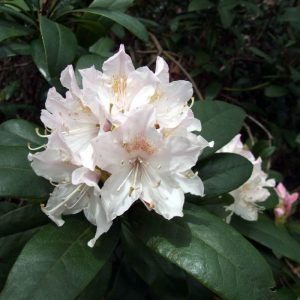 Rhododendron-'Cunningham's-White' at beechmount garden centre