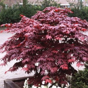 acer bloodgood at beechmount garden centre