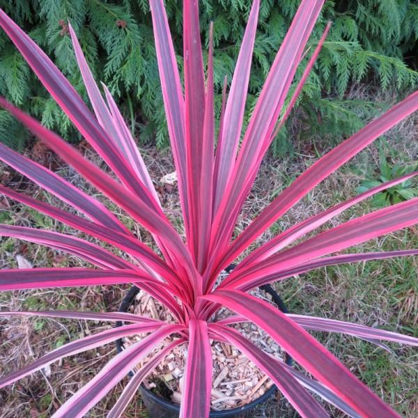 cordyline-pink-star at beechmount garden centre