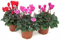 cyclamen potted at beechmount garden centre