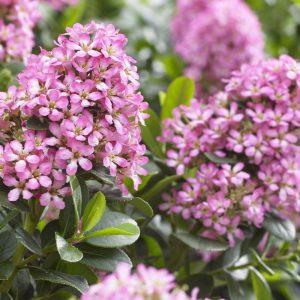 escallonia-laevis-pink-elle-flowers_1 at beechmount garden centre