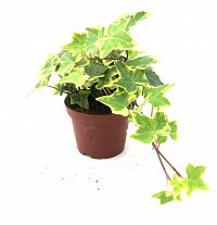 trailing ivy at beechmount garden centre