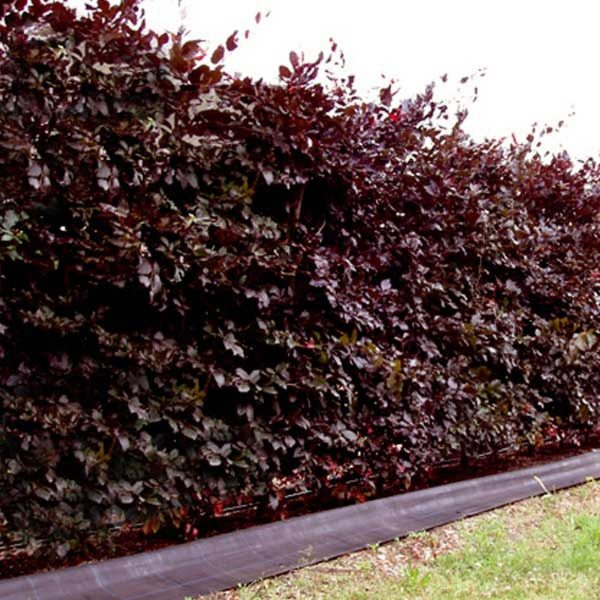 copper beech hedge t beechmount garden centre
