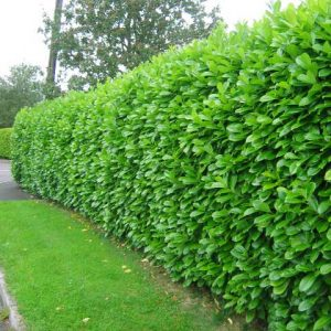 laurel hedging at beechmount garden centre