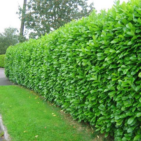 laurel hedging at beechmount garden centre