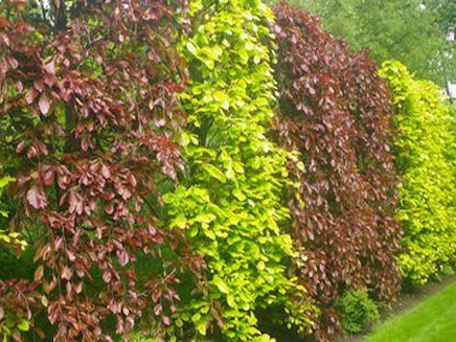 beech hedging from beechmount garden centre navan