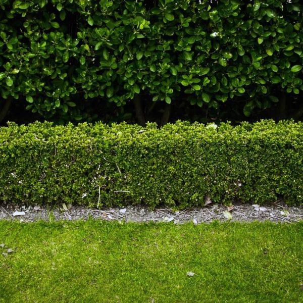 buxus hedge at beechmount garden centre