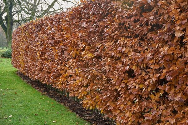 green beech in winter at beechmount garden centre
