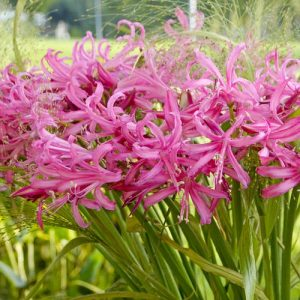 nerine favourite at beechmount garden centre