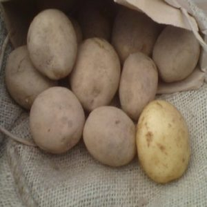 home guard seed potato at beechmount garden centre