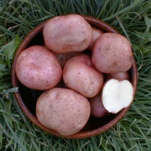 kerrs pink seed potato at beechmount garden centre