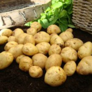 british queen seed potato at beechmount garden centre