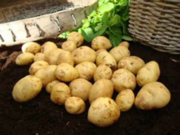 british queen seed potato at beechmount garden centre
