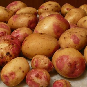 king edward seed potato at beechmount garden centre