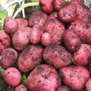 red duke of york seed potato at beechmount garden centre