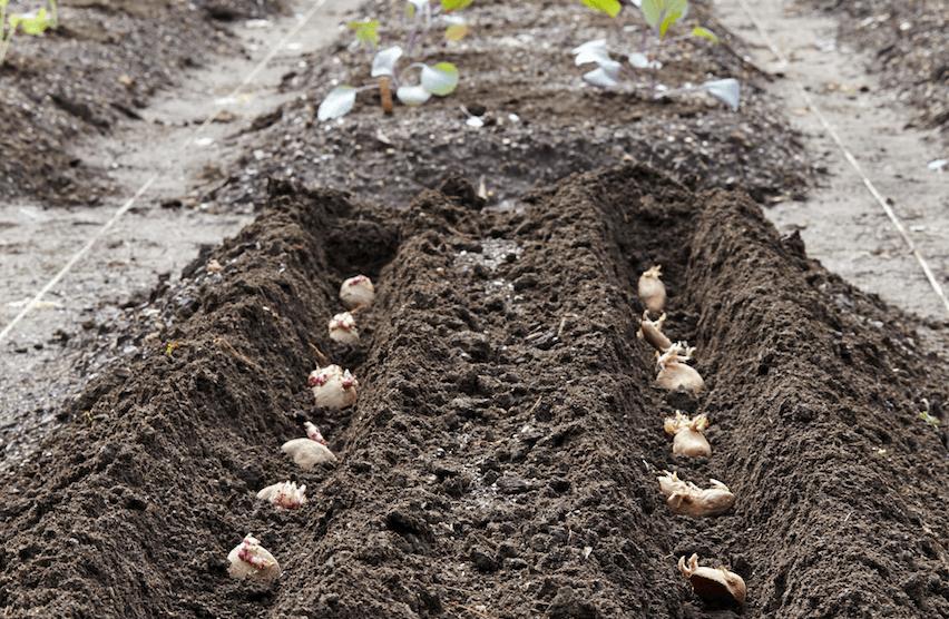 seed potatoes navan