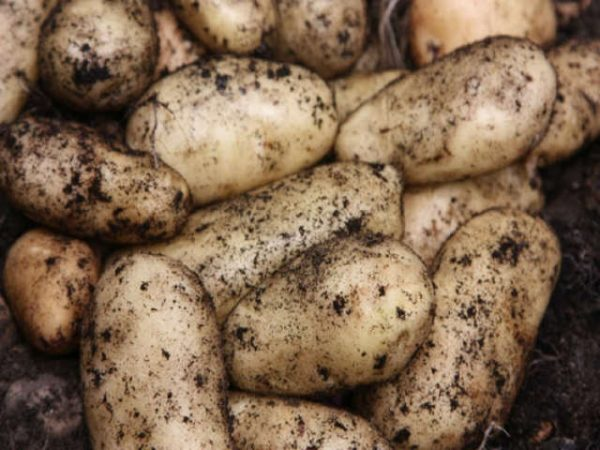 sharpes express seed potato at beechmount garden centre