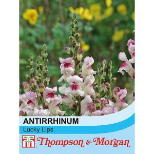 Antirrhinum majus 'Lucky Lips' seeds at beechmount garden centre