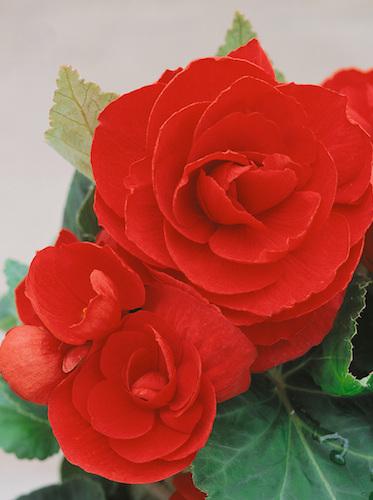 Begonia Nonstop Bright Red at beechmount garden centre