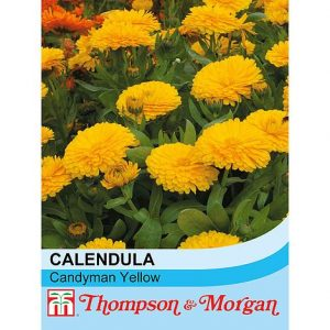 Calendula officinalis nana 'Candyman Yellow' at beechmount garden centre