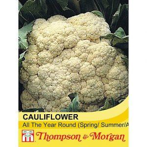Cauliflower 'All The Year Round' at beechmount garden centre