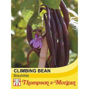 Climbing Bean 'Blauhilde' at beechmount garden centre