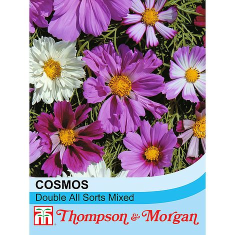 Cosmos bipinnatus 'Double All Sorts Mixed' at beechmount garden centre