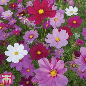 Cosmos bipinnatus 'Sensation Mixed' at beechmount garden centre