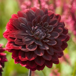 Dahlia-Arabian-Night- at beechmount garden centre