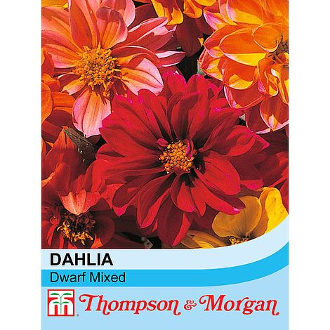 Dahlia variabilis 'Dwarf Mixed' seeds at beechmount garden centre
