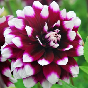 dahlia mystery day at beechmount garden centre