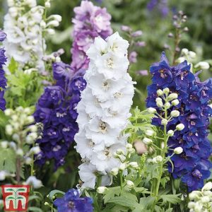Delphinium 'Magic Fountains Mixed' at beechmount garden centre